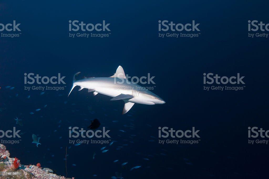 Gray Tip Reef Shark royalty-free stock photo