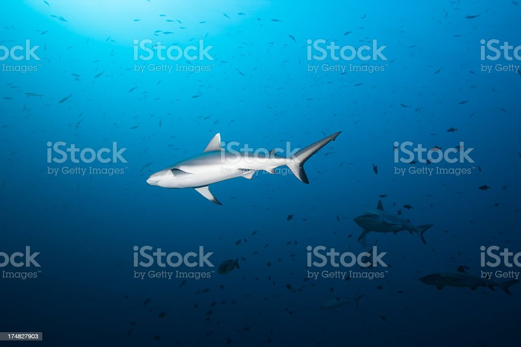 Gray Tip Reef Shark royalty-free stock photo
