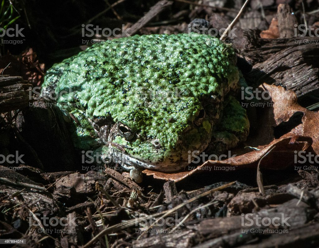 Gray Tree Frog in Green stock photo