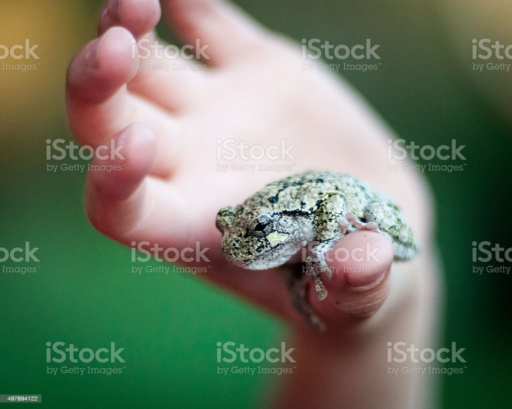 Gray Tree Frog on a Child's Thumb stock photo