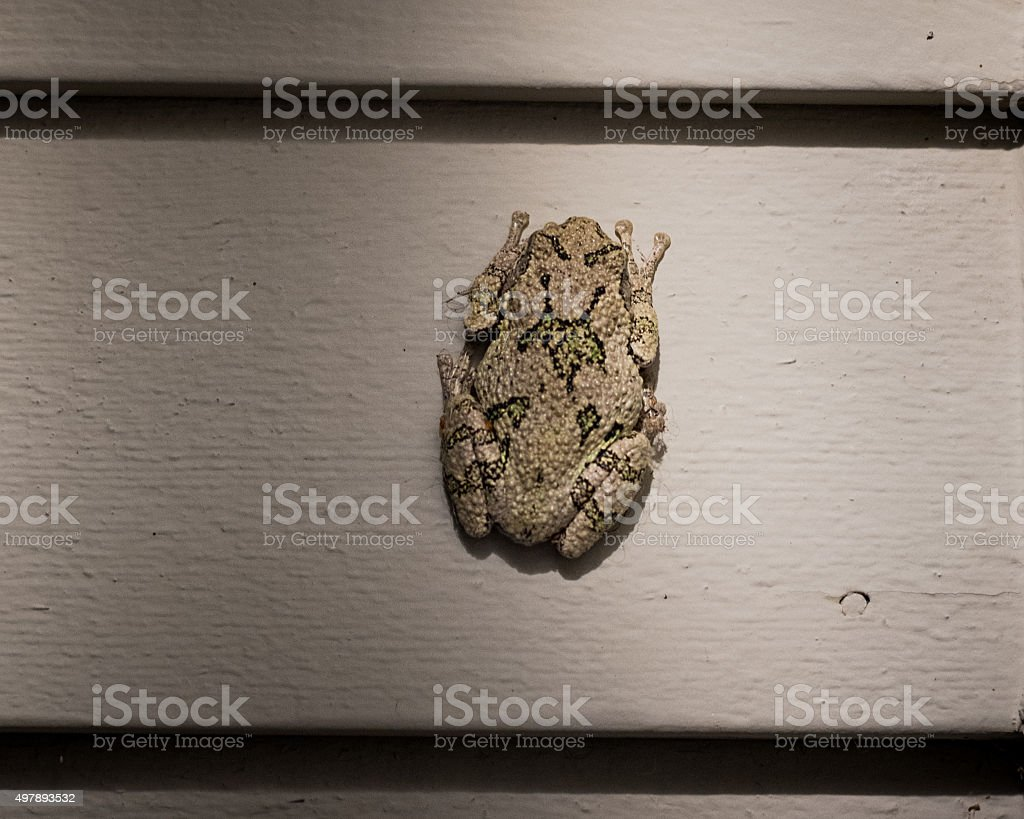 Gray Tree Frog on a House Wall. stock photo