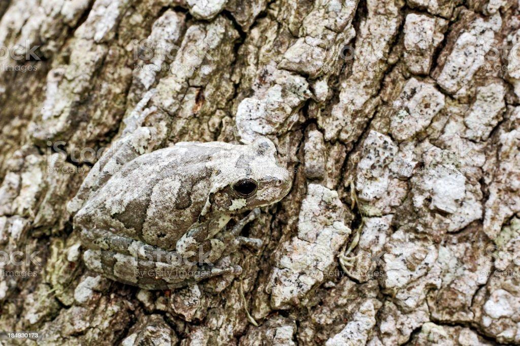 Gray Tree Frog on Bark stock photo