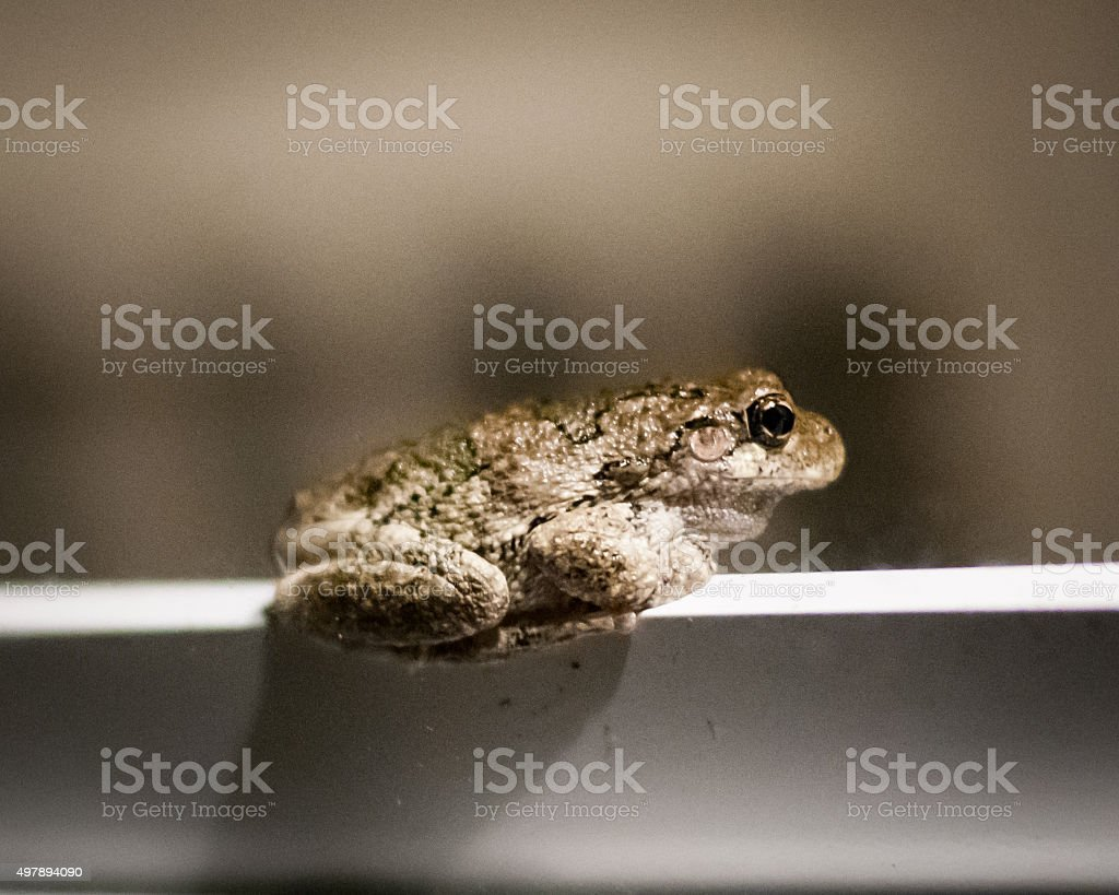 Gray Tree Frog on Doorframe stock photo