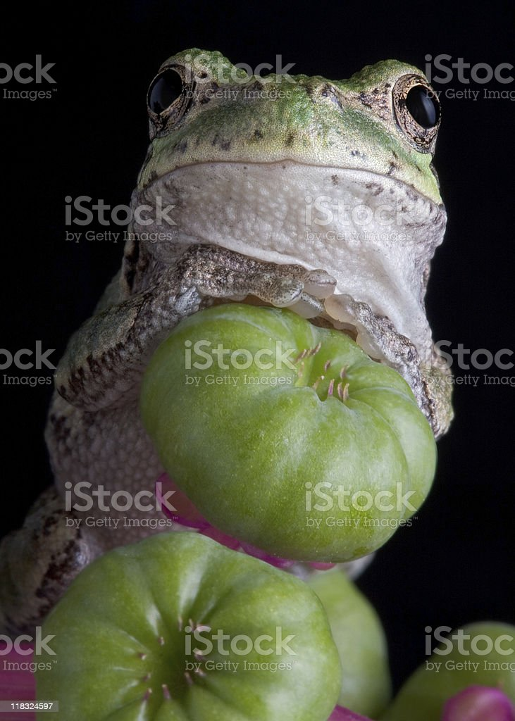 Gray tree frog portrait stock photo