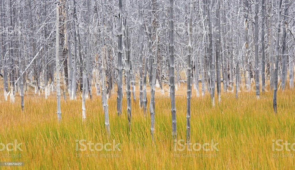 Gray Trees and Autumn Grass royalty-free stock photo