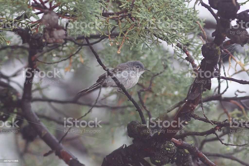 Gray Vireo royalty-free stock photo