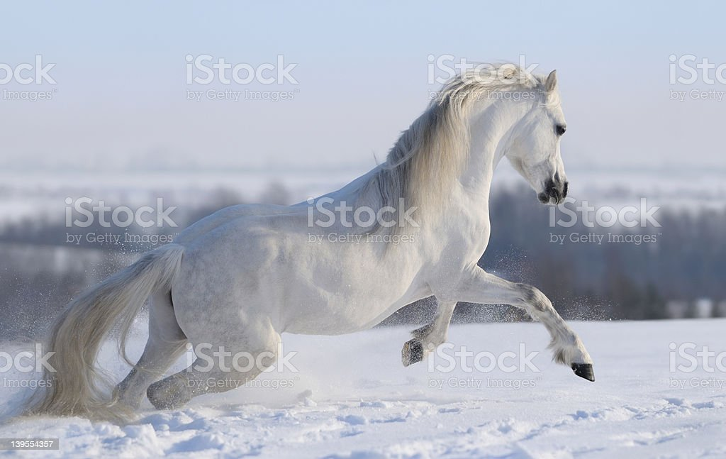 Gray Welsh pony royalty-free stock photo