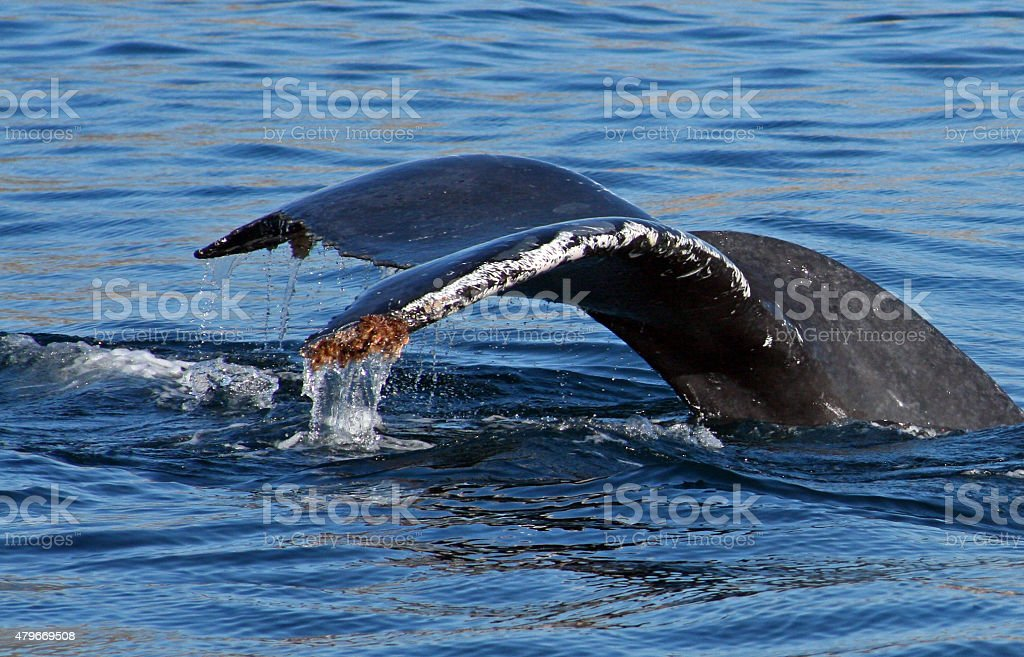 Gray Whale Barnacled Tail Fin / Fluke in Mexico stock photo