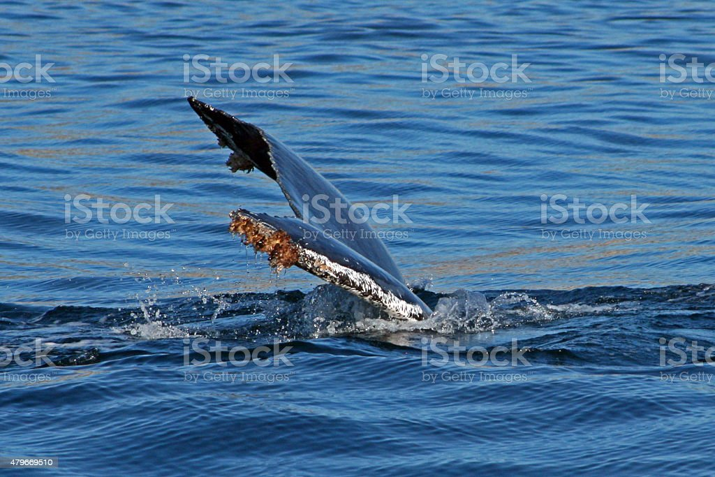 Gray Whale barnacled Tail Fin / Fluke in Pacific Ocean stock photo