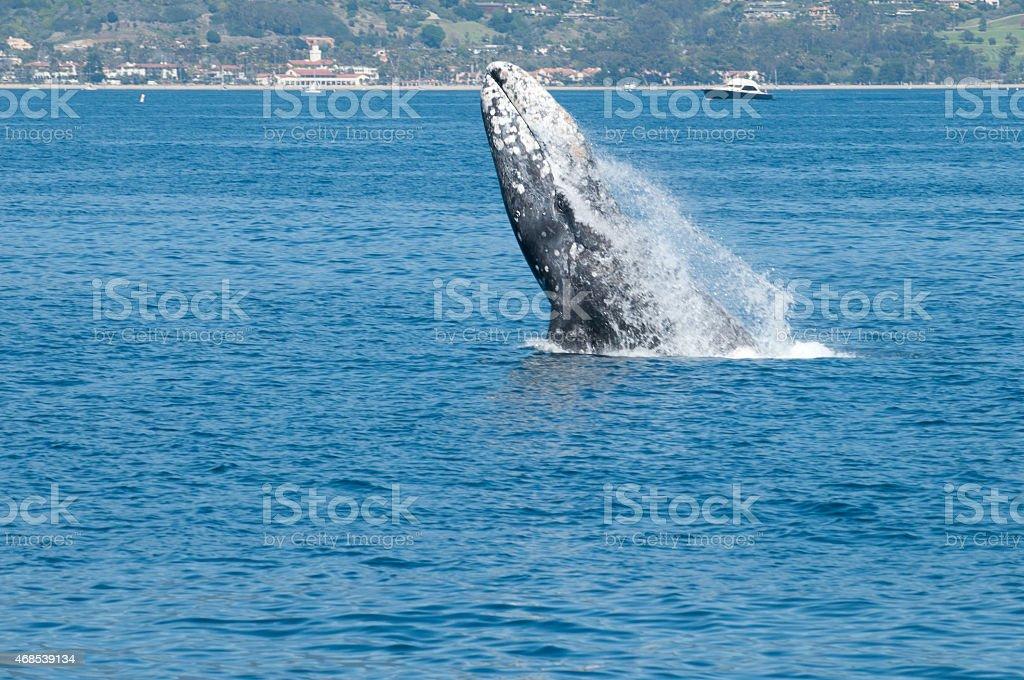 Gray Whale Breaching--Santa Barbara, Calif. stock photo