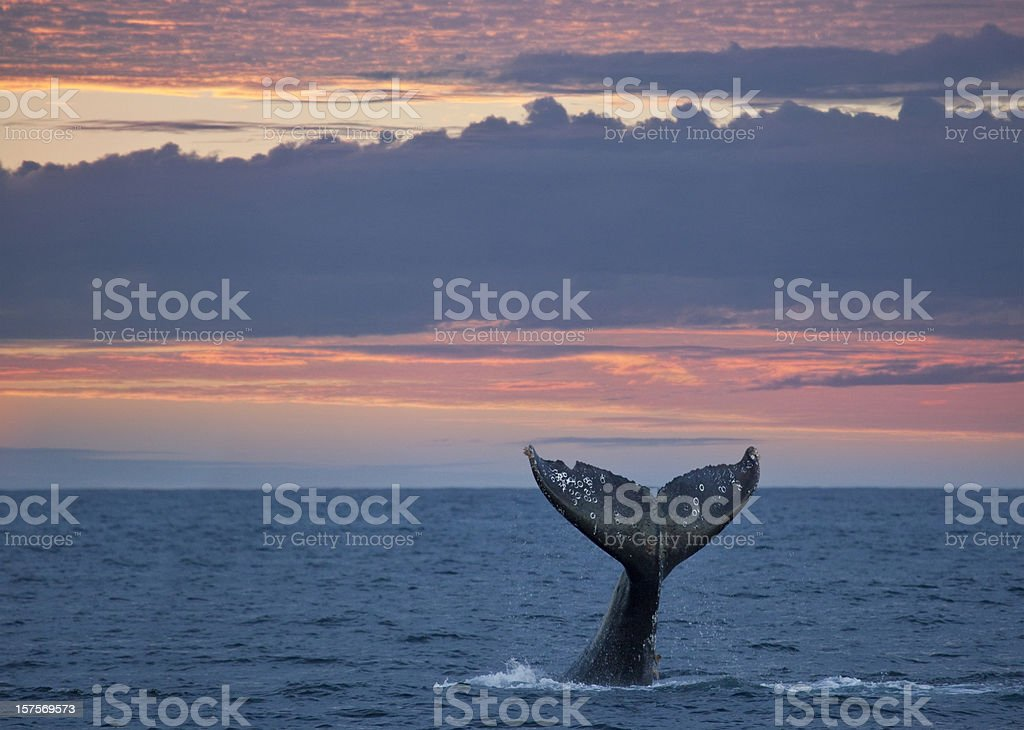 Gray Whale Tail at Sunset stock photo
