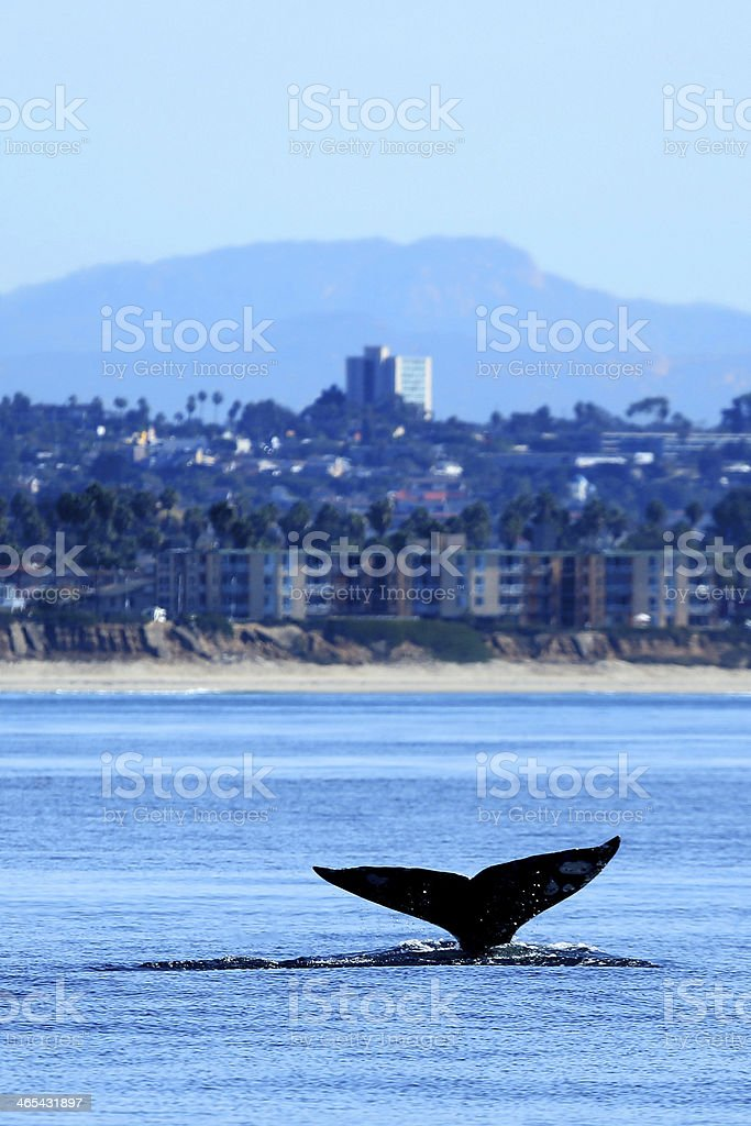 Gray Whale Watching in San Diego stock photo