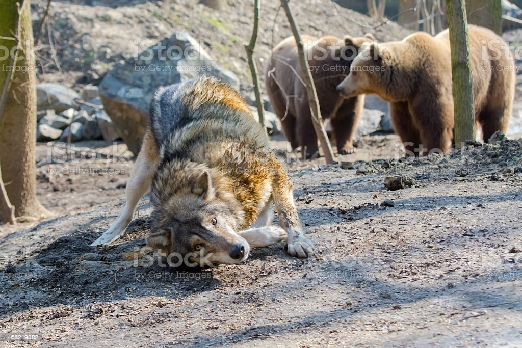 Gray wolf (Canis lupus) and brown bear (Ursus arctos) stock photo