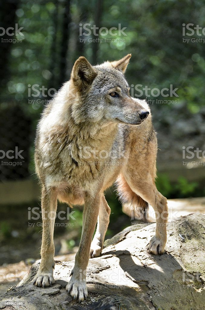 Gray wolf - Canis lupus stock photo