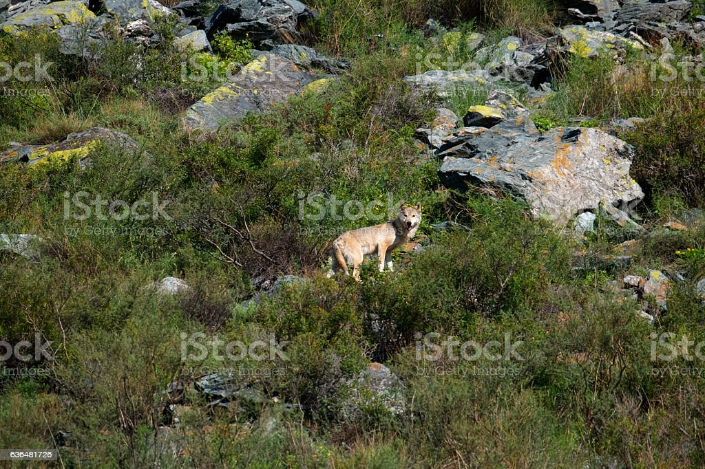 Gray wolf climbs up the mountain stock photo