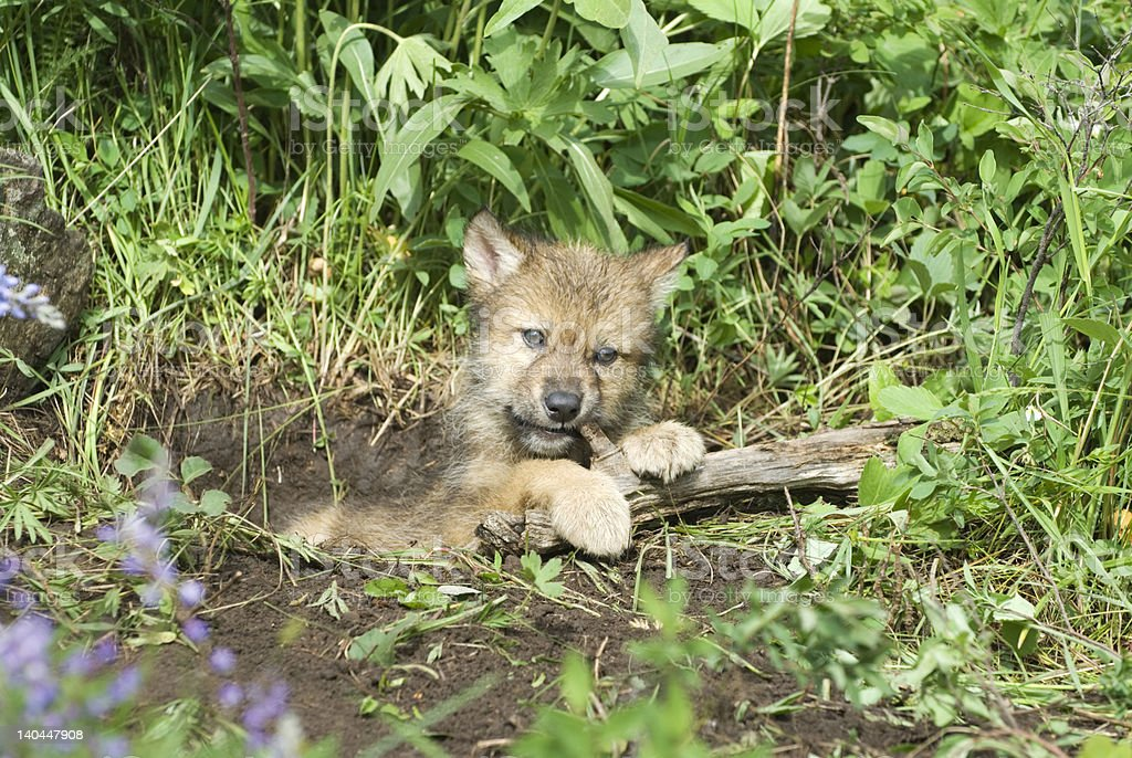 Gray wolf cub royalty-free stock photo