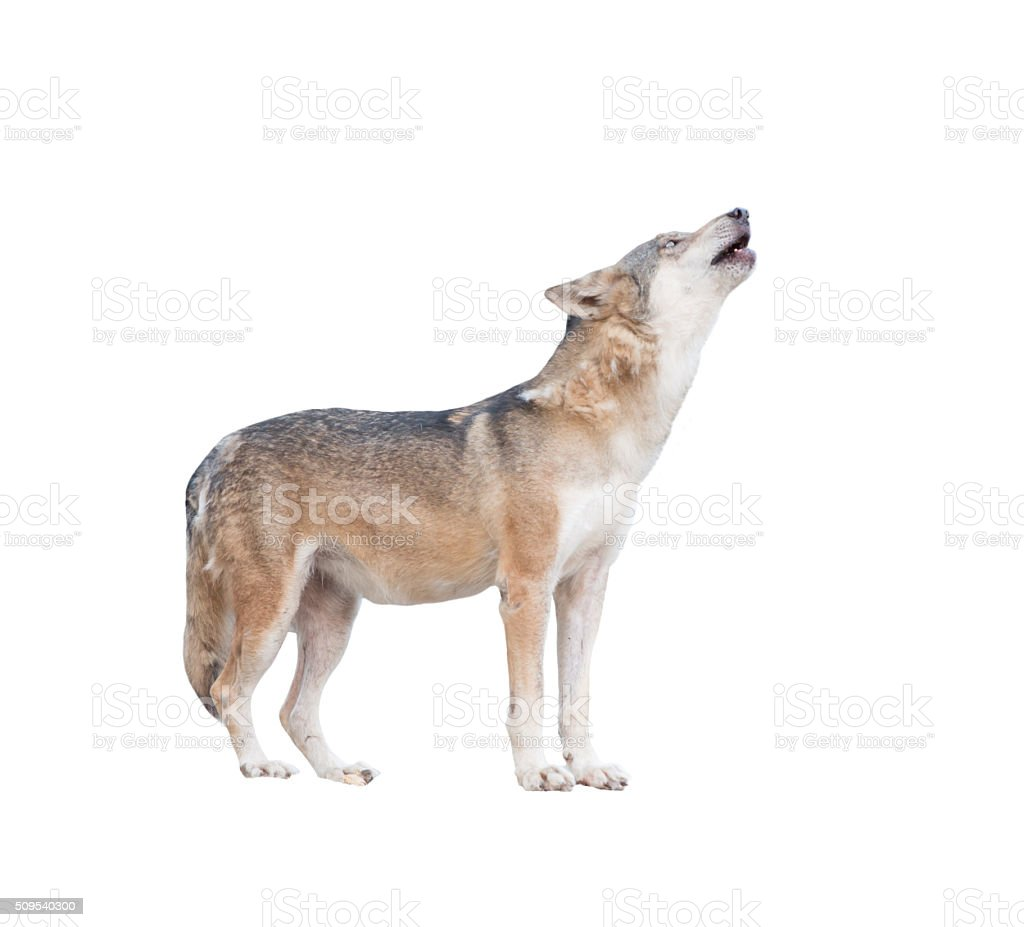 gray wolf howling isolated stock photo