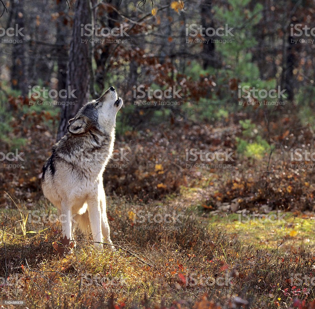 Gray wolf howling stock photo