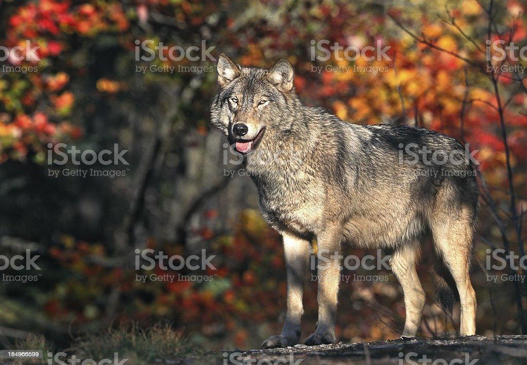 Gray Wolf in Autumn stock photo