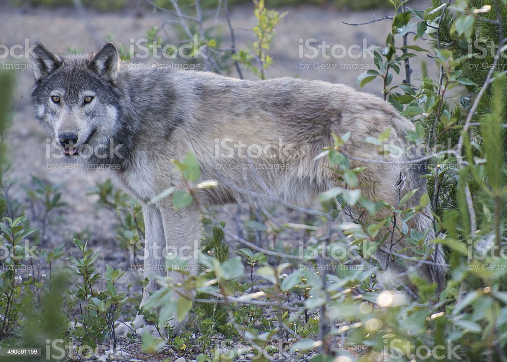 gray wolf in the woods stock photo