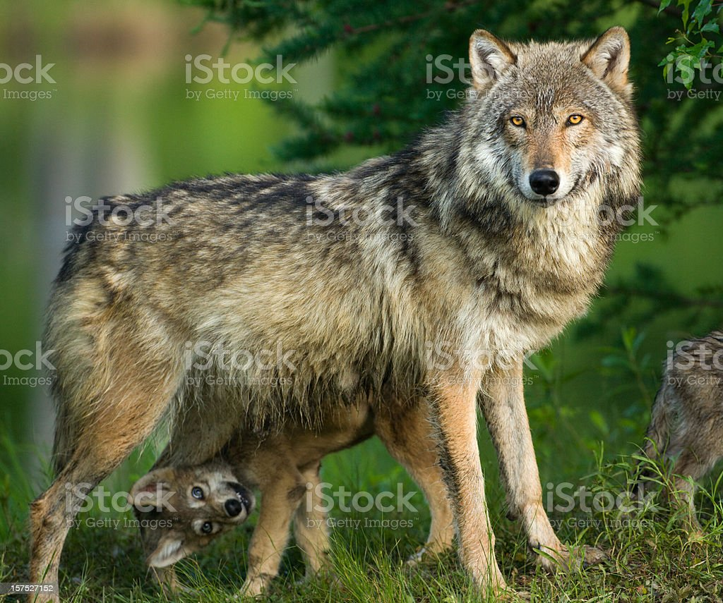 Gray wolf in trees with funny pup underneath. stock photo