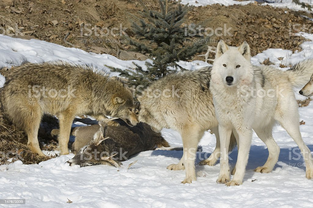 Gray Wolf pack on kill royalty-free stock photo