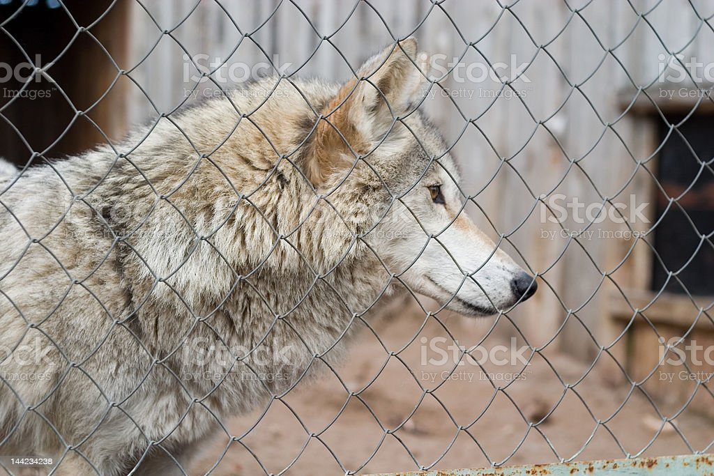 gray wolf royalty-free stock photo