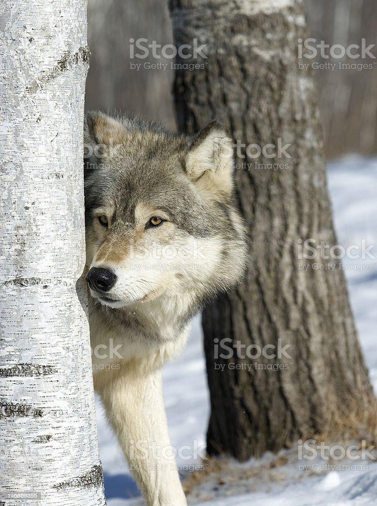 Gray wolf royalty-free stock photo