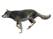 Gray Wolf Running