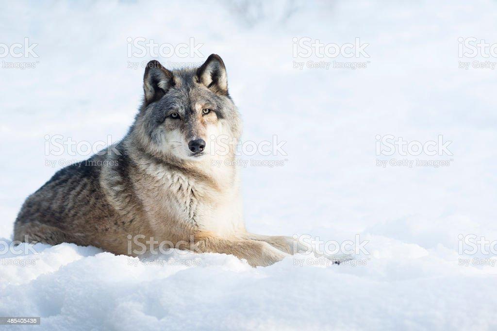 Gray wolf sitting in snow portrait stock photo