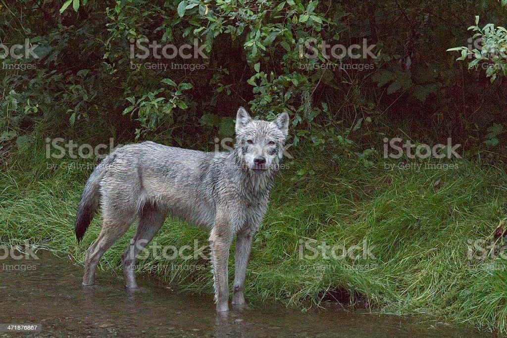 Gray Wolf standing in creek stock photo