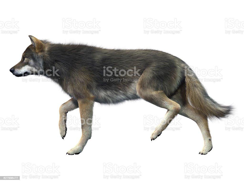Gray Wolf Walking stock photo