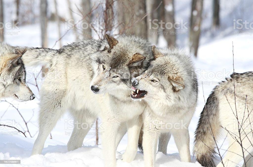gray wolves battle stock photo