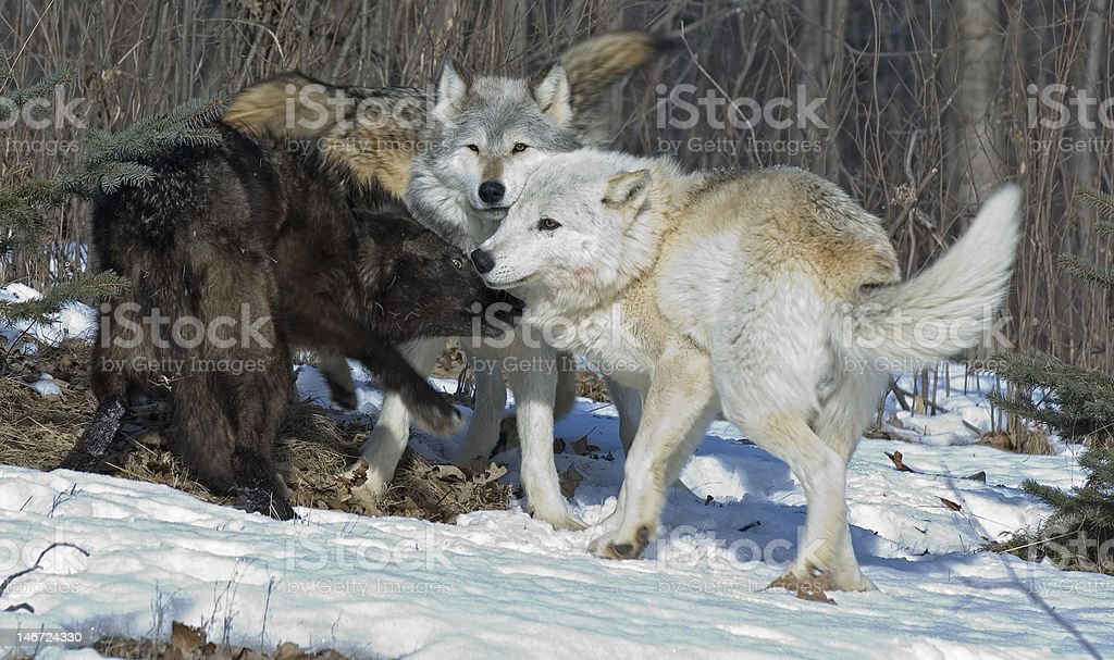Gray wolves royalty-free stock photo