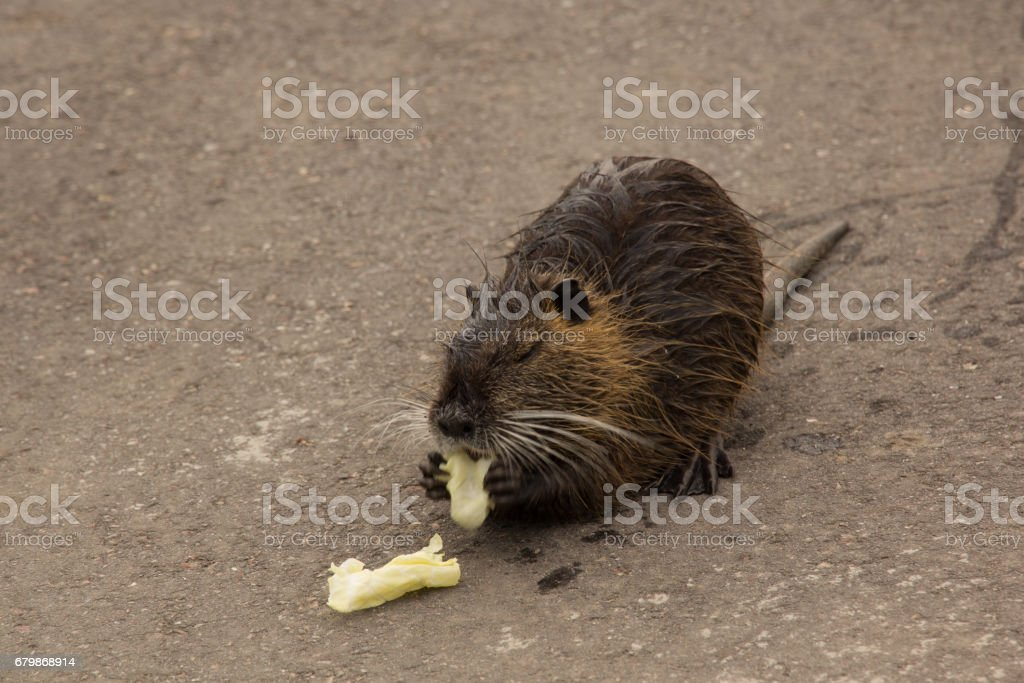 Gray young nutria stock photo