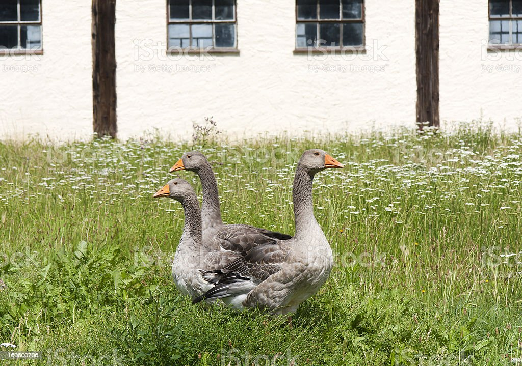 Graylag Gooses on the Farm royalty-free stock photo