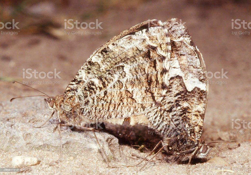 Grayling Butterfly (Hipparchia semele) in Copula stock photo