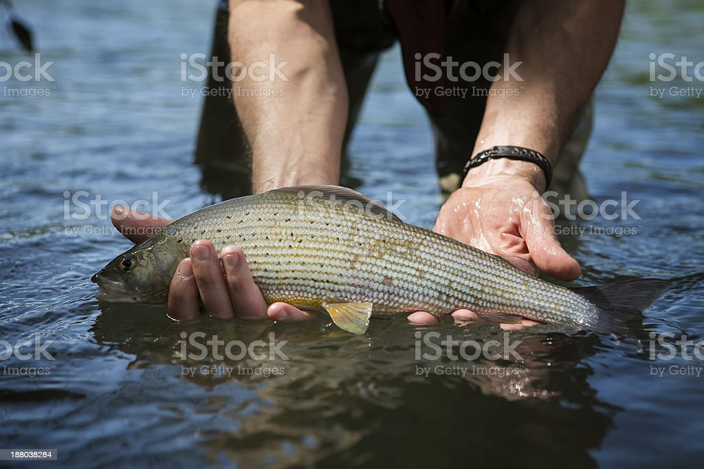 Grayling caugth  by  a flyfisher royalty-free stock photo