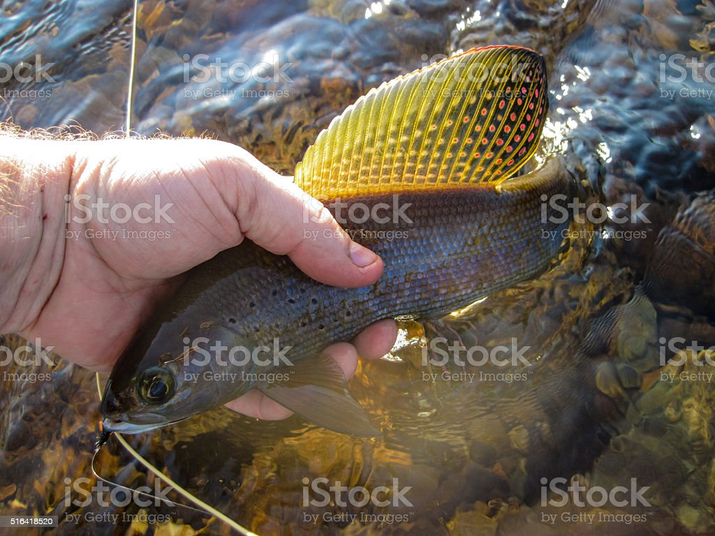 Grayling in hand stock photo