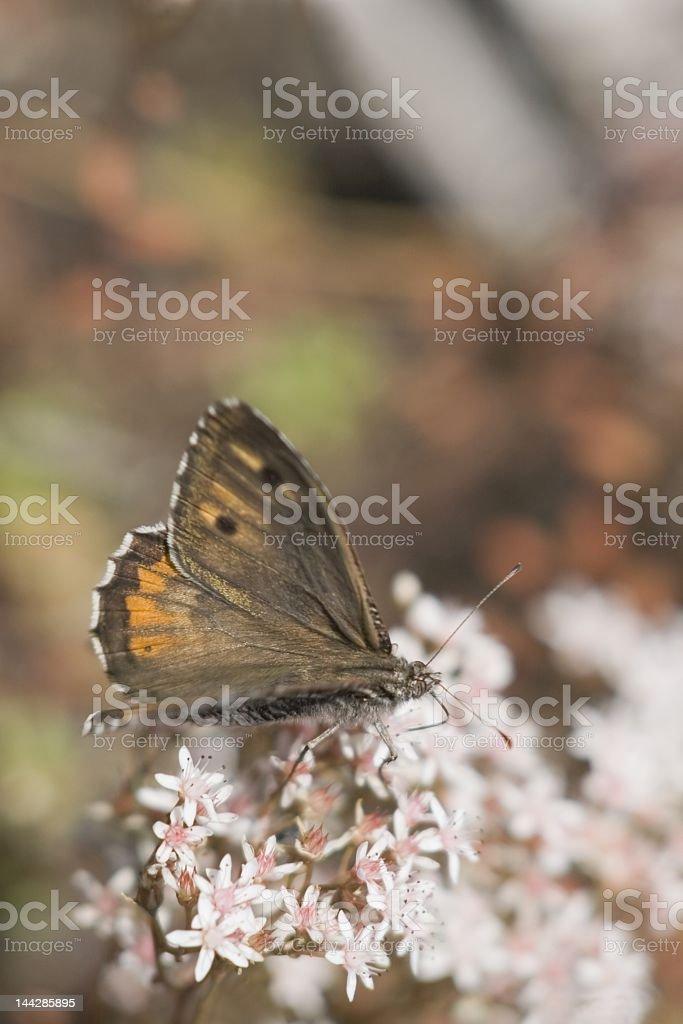 Grayling (Hipparchia semele) stock photo