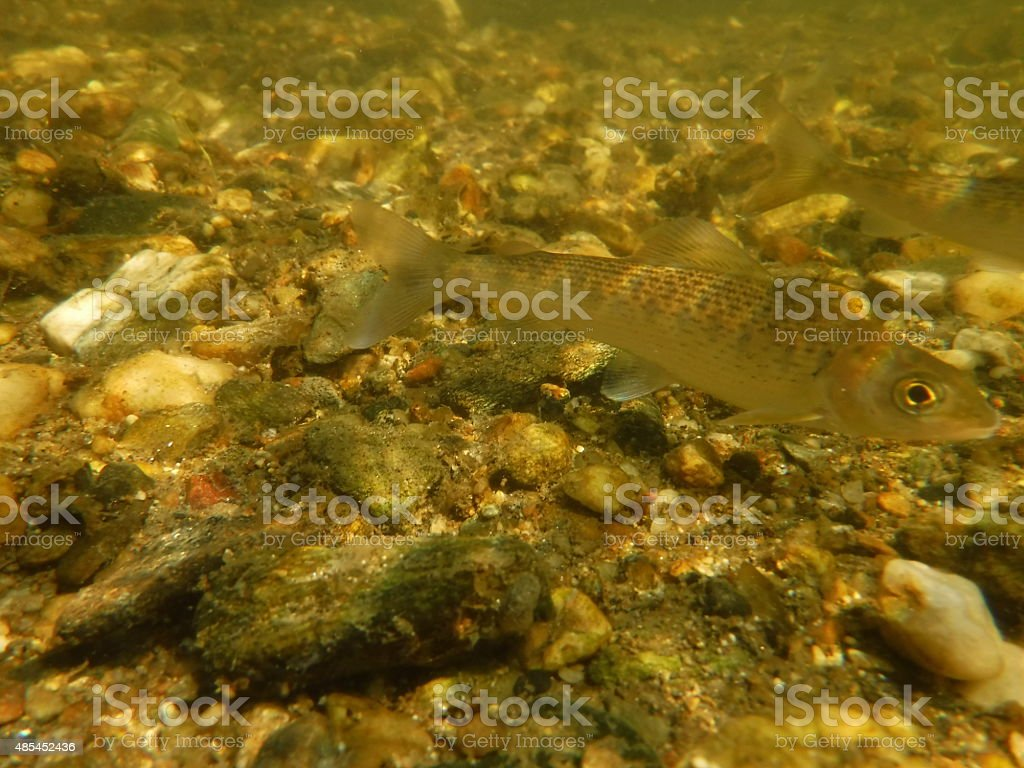Grayling stock photo