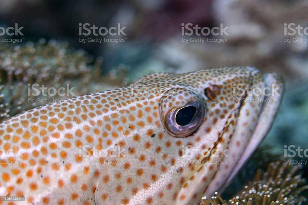 Graynsby Fish royalty-free stock photo
