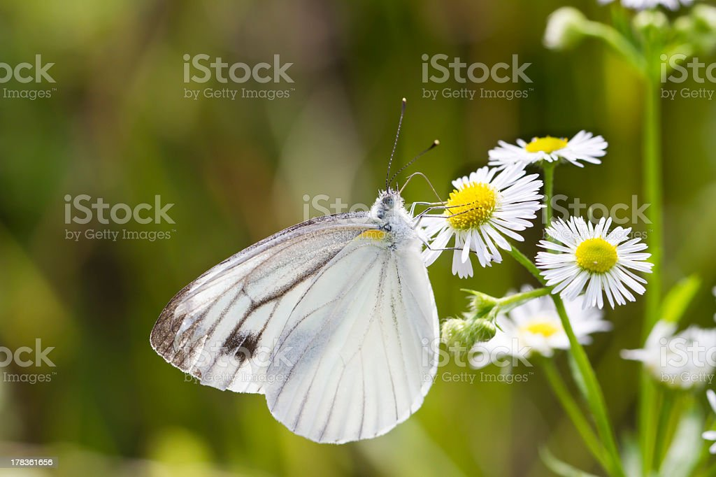 Gray-veined White Butterfly of Japan stock photo