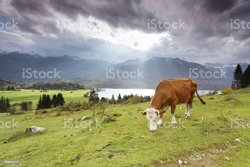 Grazing alpine cow royalty-free stock photo