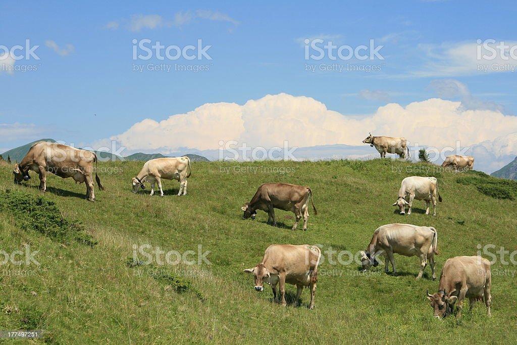 Grazing alpine cows in Arosa, Swiss royalty-free stock photo