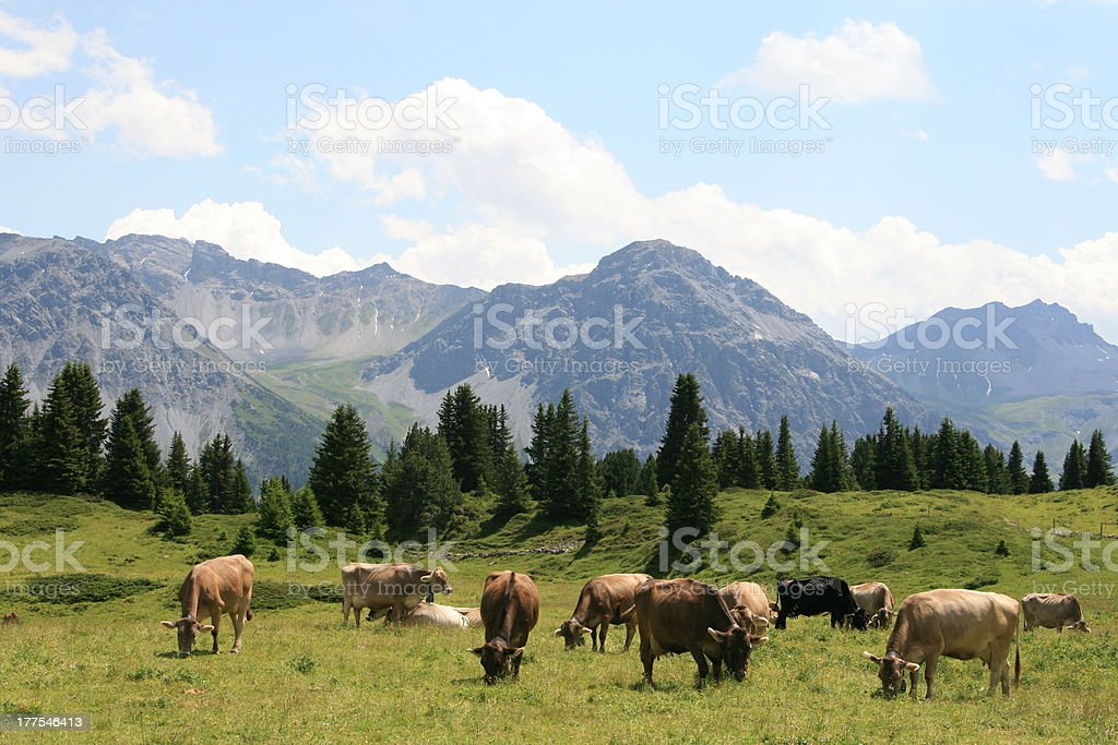 Grazing alpine cows in Arosa, Swiss royalty-free stock photo