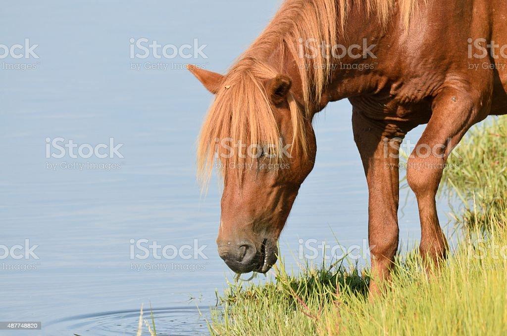 Grazing Assateague Pony stock photo