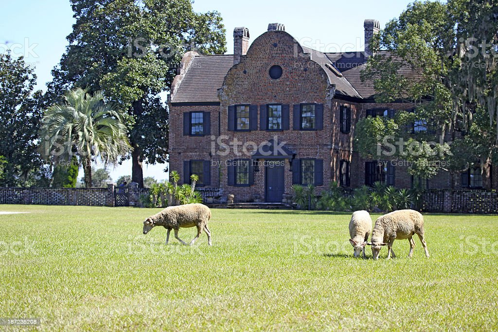 Grazing at Middleton Place stock photo