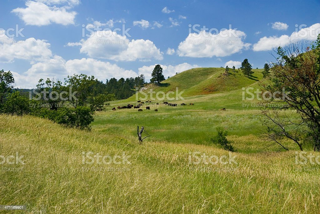 Grazing Bison royalty-free stock photo