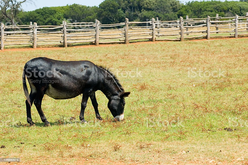 Grazing black mule royalty-free stock photo